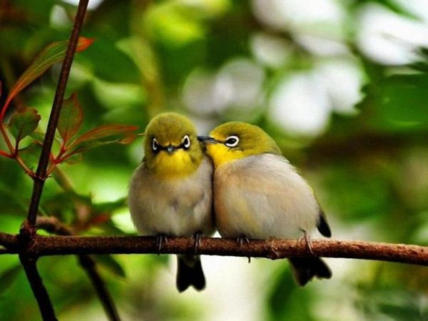 Love Birds Kissing 38 Photos Cute Birds Animals Pet Birds