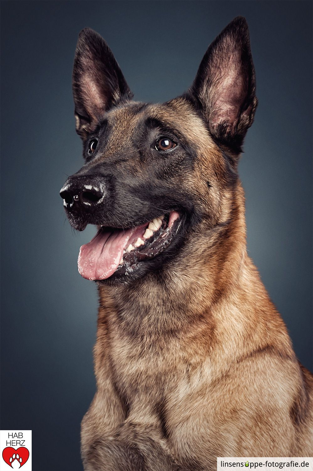 Portrait of a malinois Feel free to like, comment and