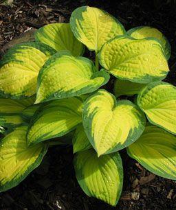showstopping hostas hosta plants