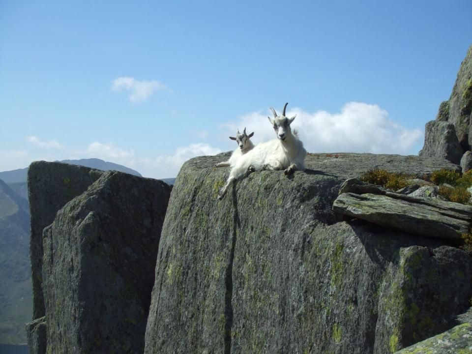 These goats relax atop Tryfan mountain in the Ogwen Valley of Snowdonia, Wales.