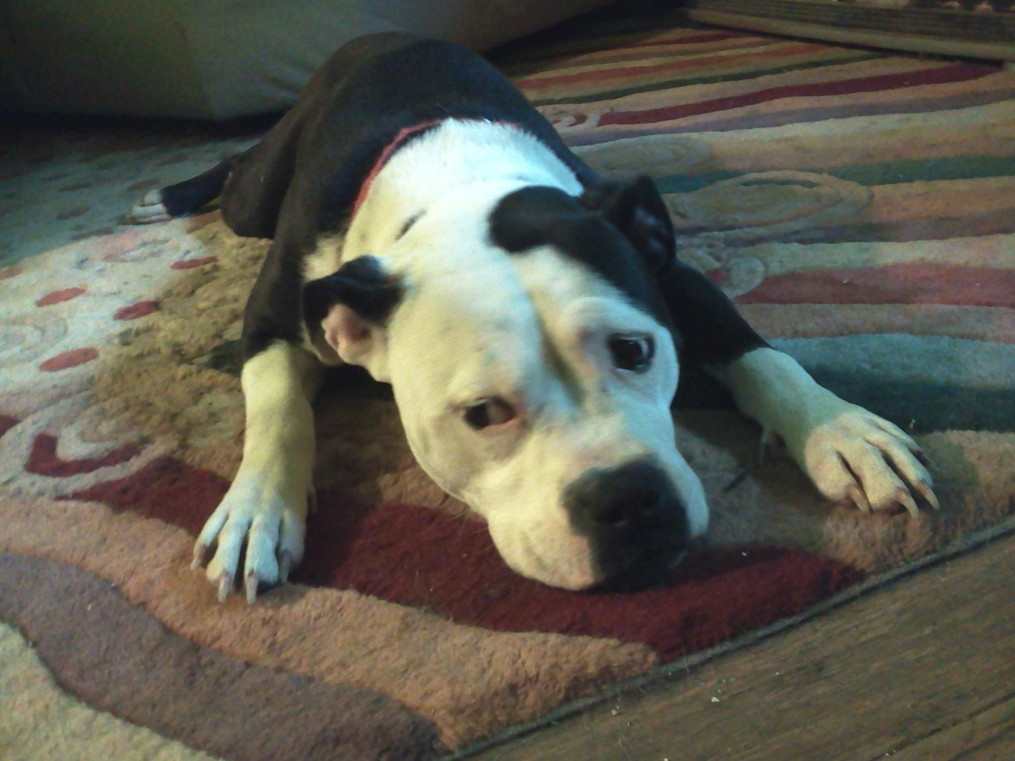 Bullypit Dog For Adoption In Cincinnati Oh Adn 557527 On