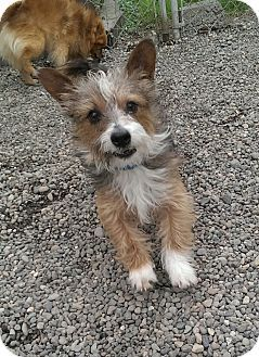 Auburn Wa Corgi Cairn Terrier Mix Meet Toto A Dog For