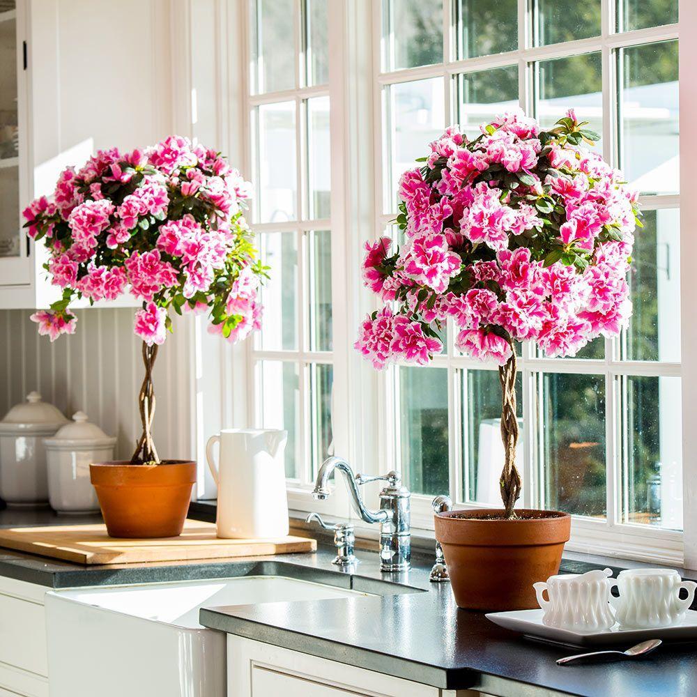 Azalea Topiary, pink picotee Topiary, Topiary trees