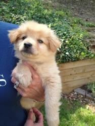 Lucy Lee is an adoptable Pomeranian Dog in Alpharetta, GA. My name is Lucy Lee and I am 9 weeks old. I guess I am a Pom mix. I am little. However I play ball!!! I am soooo smart my foster Mommy tells ...