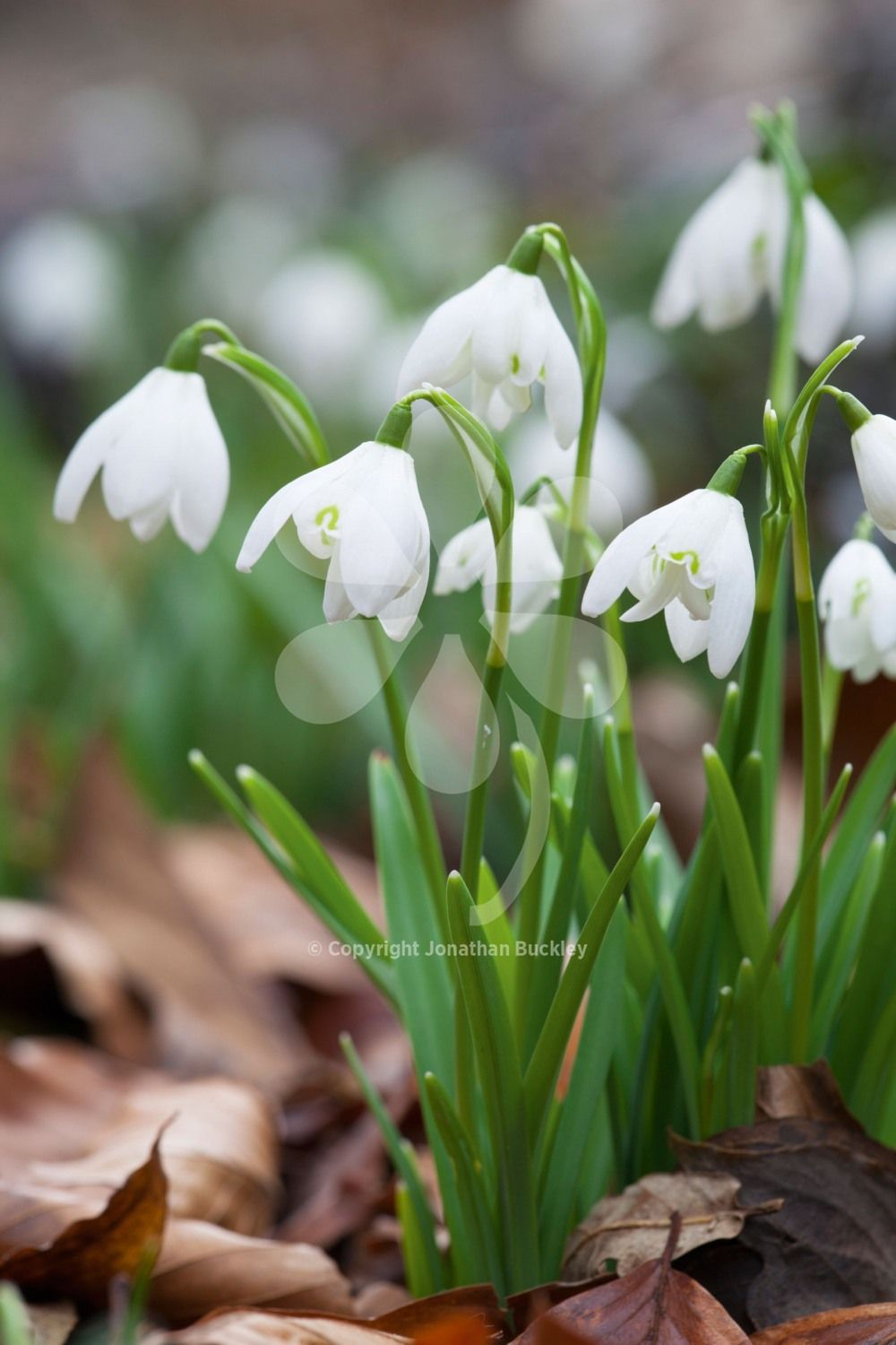 Galanthus Flore Pleno Is The Classic Wild Species Snowdrop With Flowers Like The Underskirts Of A Ballerina S Tutu Wonderful Scent Kvetiny