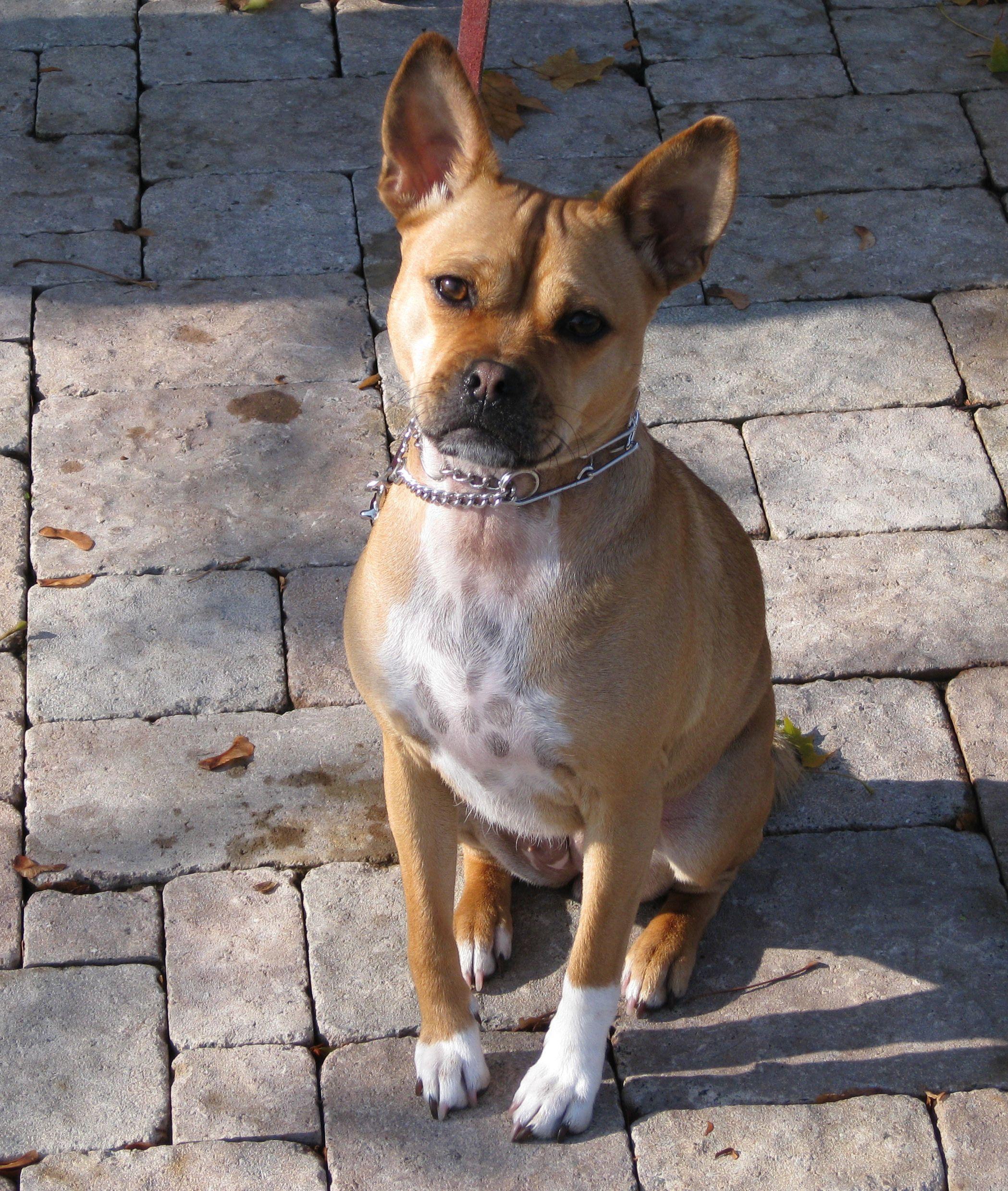 Basenji Pug Mix Mixed Breed Dogs Dogs Safe Dog Toys