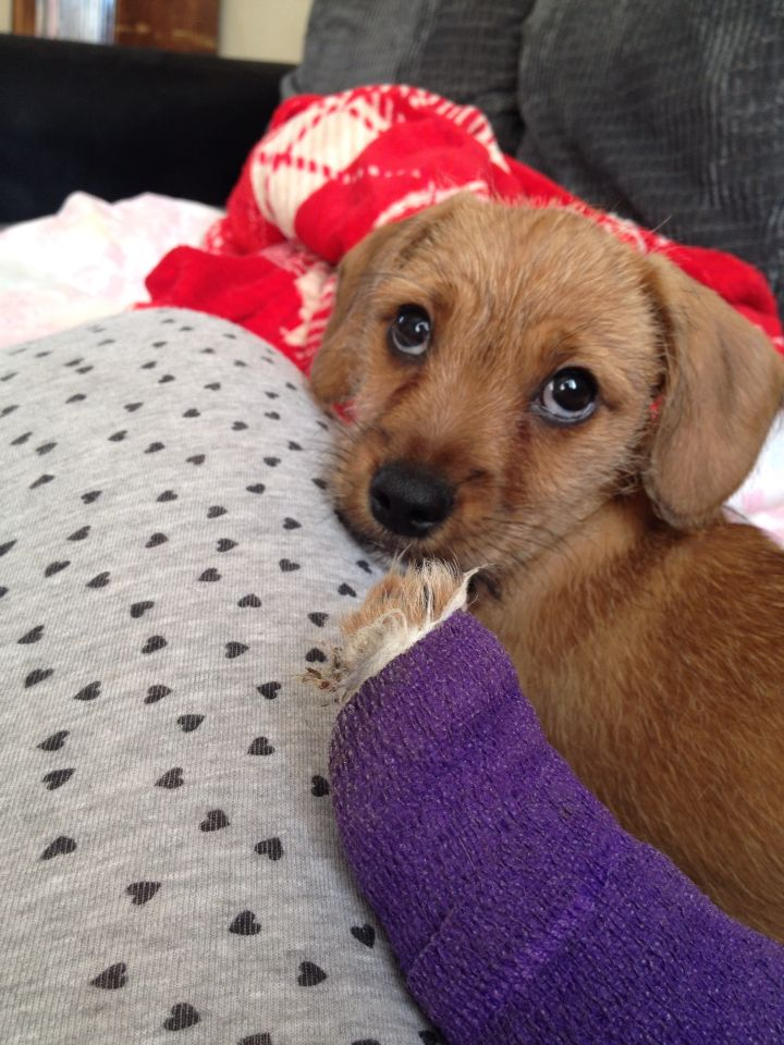 My Puppy Hayden With His Purple Leg Cast Small Dog Terrier Mix
