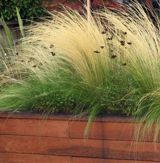 Red cosmos and mexican feather grass plants and - How to plant a flower garden for dummies ...