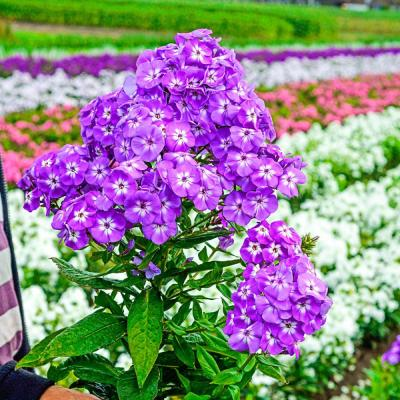 Spring Hill Nurseries Goliath Tall Garden Phlox Live Bareroot