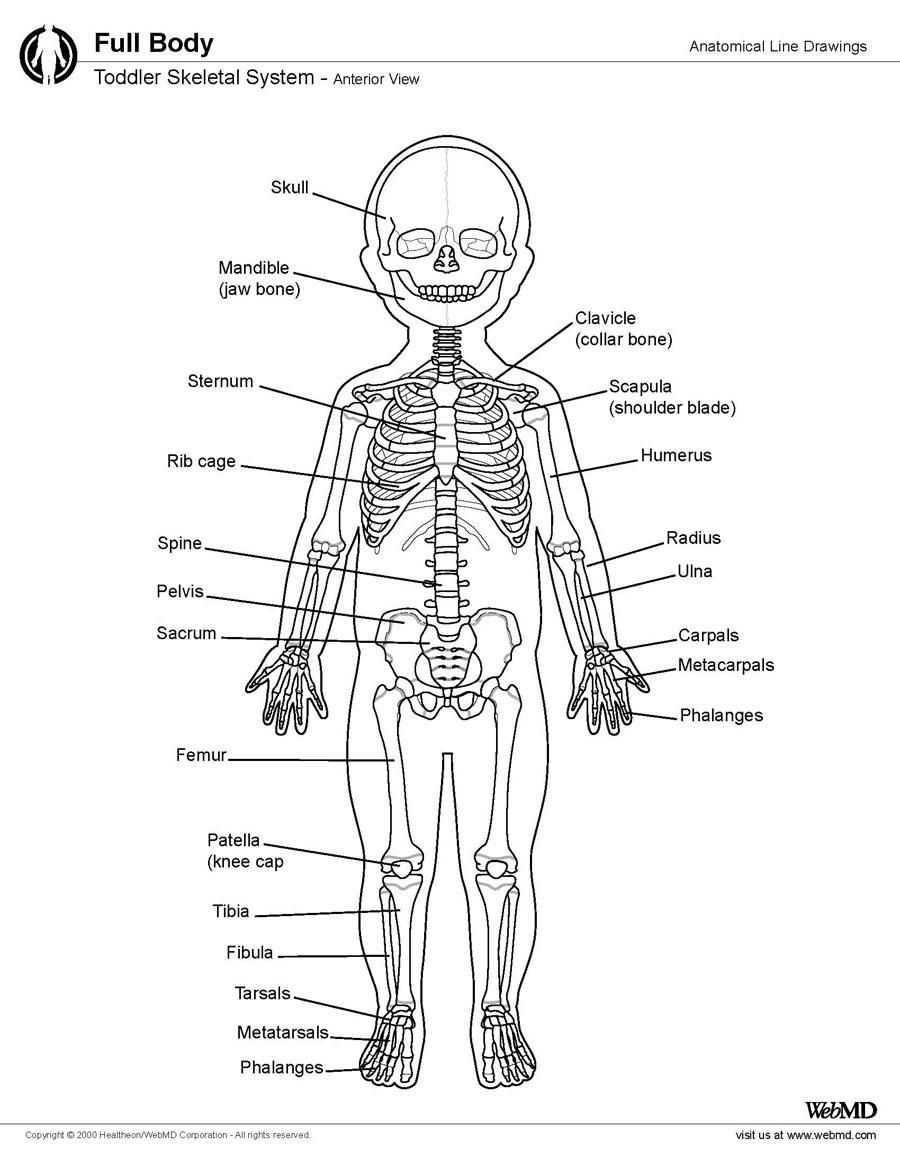 Skeletal System Anatomy in Children and Toddlers: Overview, Gross ...
