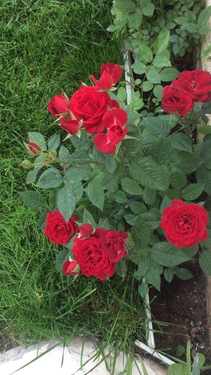 Love is endless rose flower beautiful roses bloom