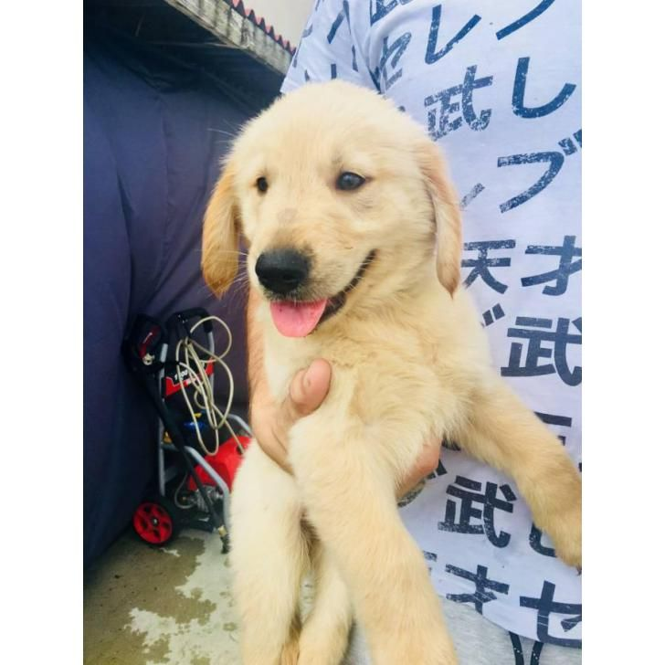4 AKC Golden Retriever Puppies available (With images
