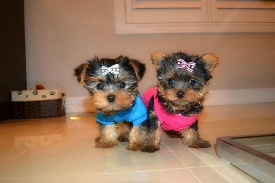 yokshire terrier puppy for adoption (urgent) Yorkie
