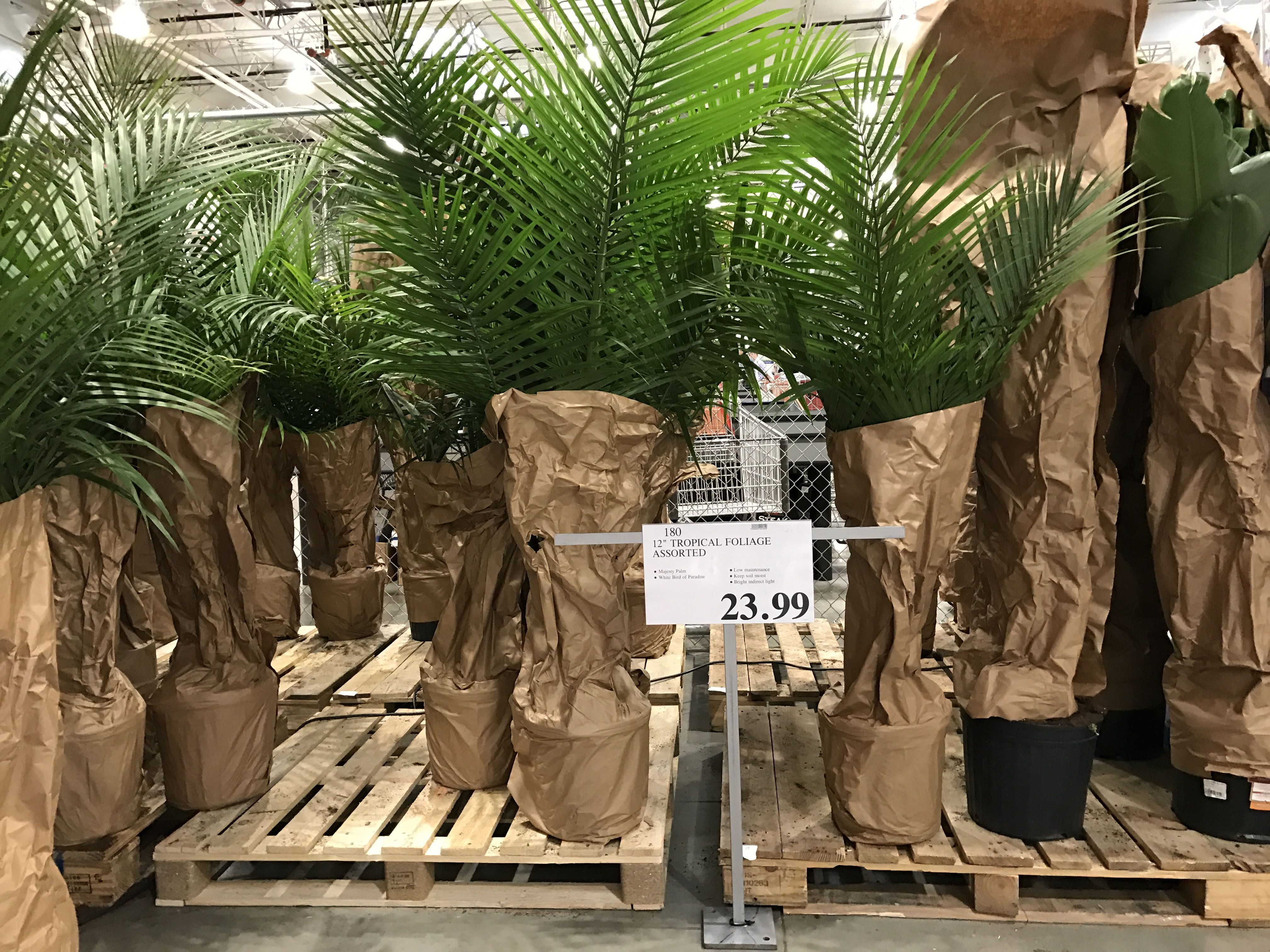 Costco Live Palm Plants Available In Store Rivertown