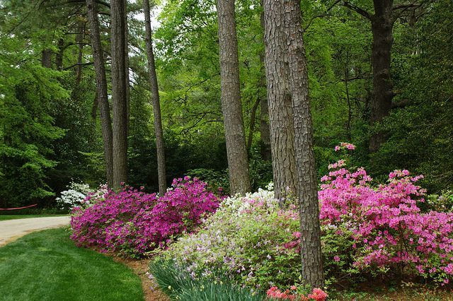 Home landscape design with pines azaleas under pines by for Plants around trees landscaping