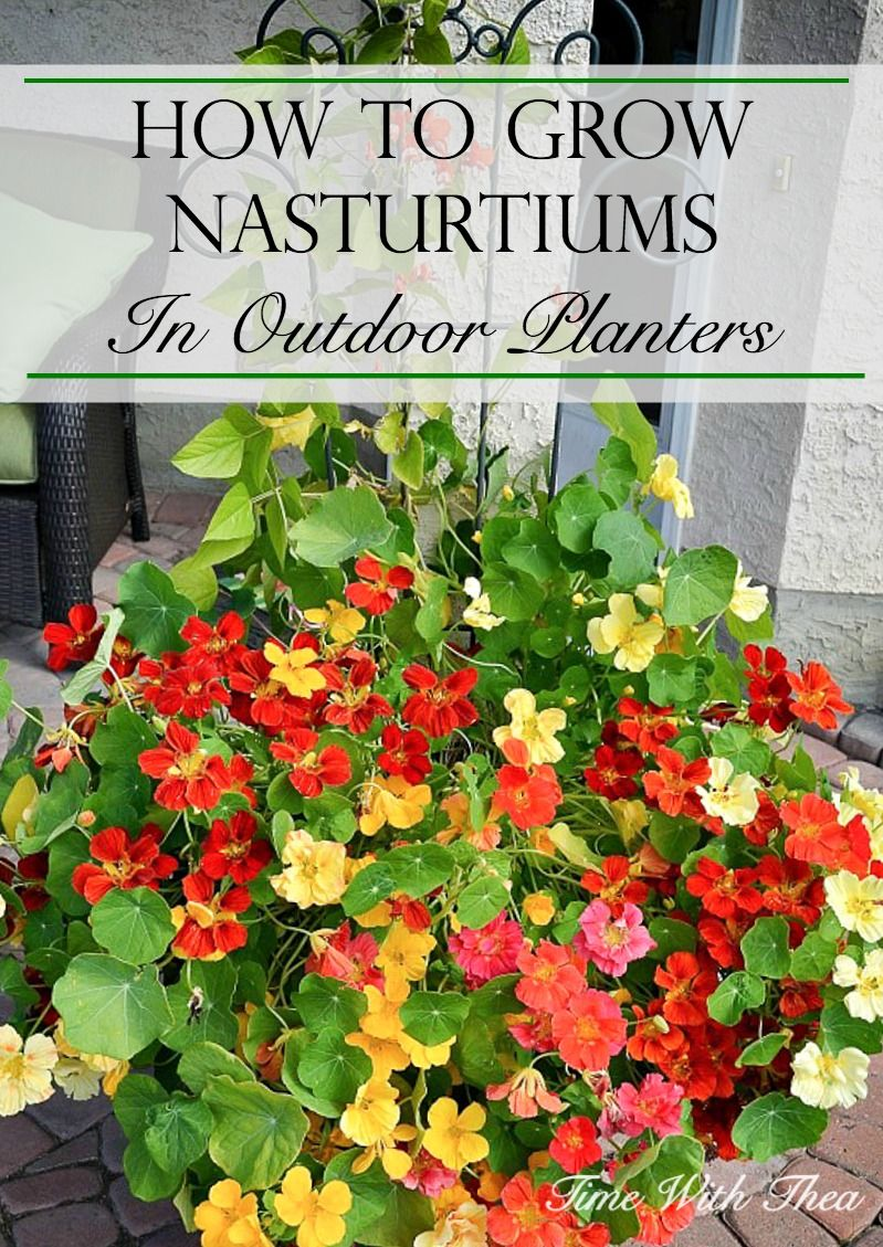 How To Grow Nasturtiums In Outdoor Planters Easy To Grow 640 x 480