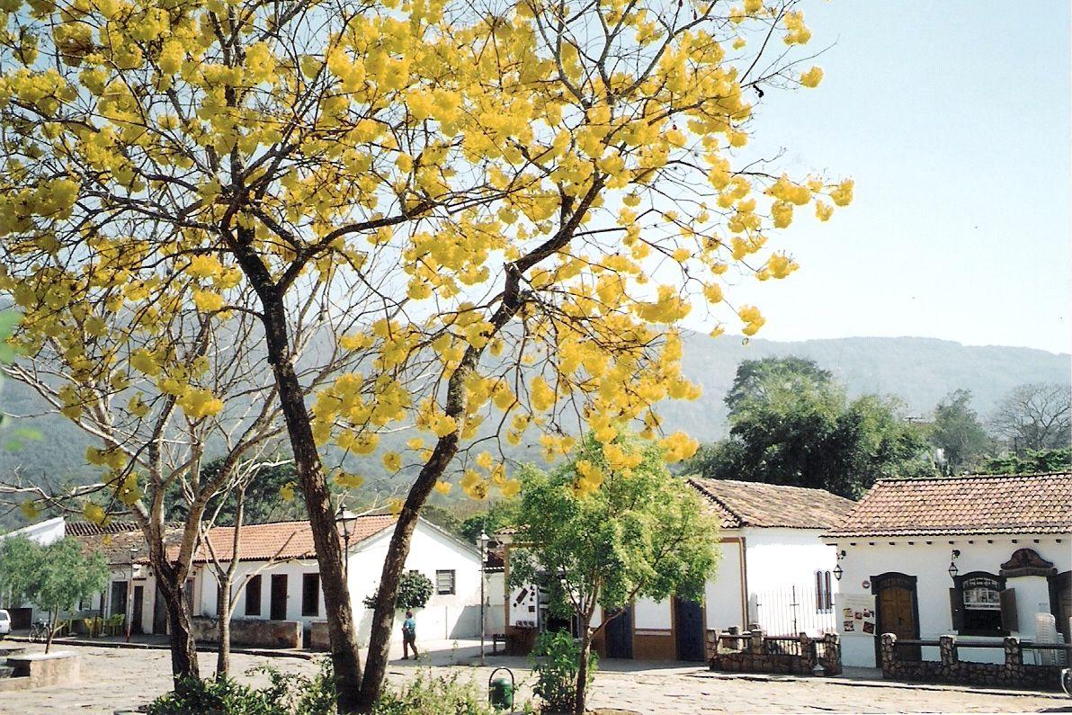 Ipê Amarelo - Árvore Símbolo do Brasil