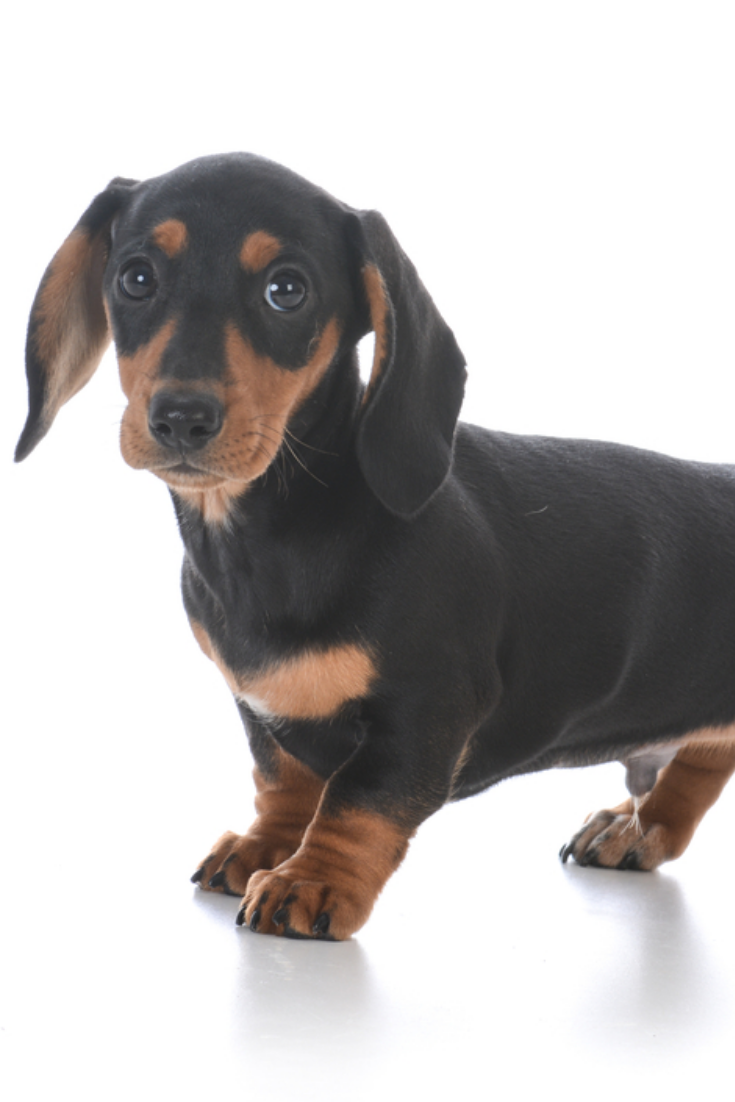 Adorable Male Dachshund Puppy On White Background In 2020 Dachshund Dachshund Lovers Puppies
