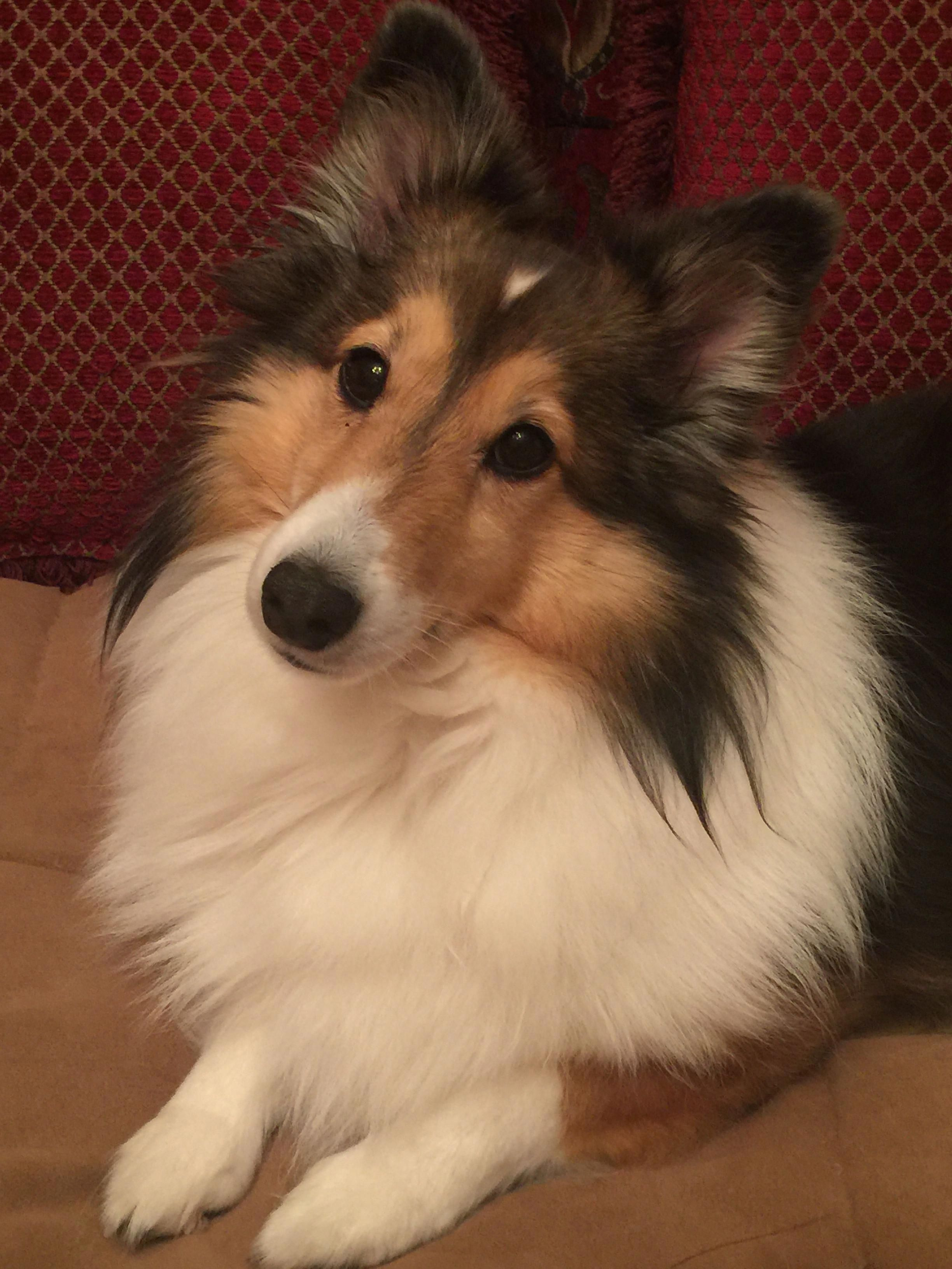 The Traits We Admire About The Cute Shetland Sheepdog Puppies