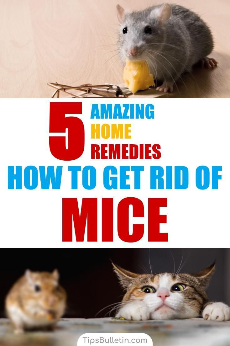 How to get rid of mice 5 home remedies getting rid of
