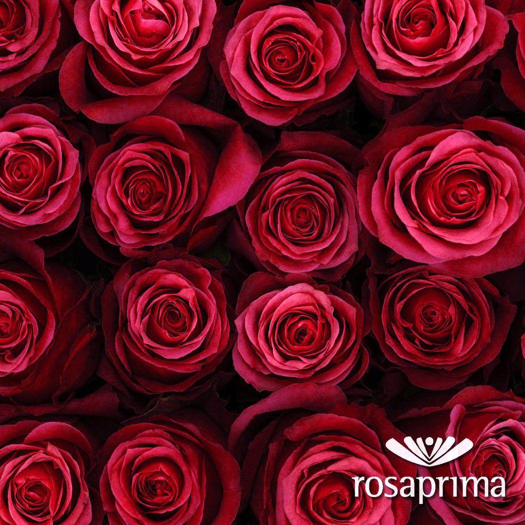 Cherry O | Standard roses, Rose varieties, Blooming rose