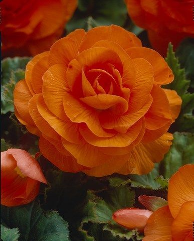 Buddhas Robe Camellias Begonias Flower Bulbs Fiesta Bulb Marketing Flowers Bulb Flowers Beautiful Flowers