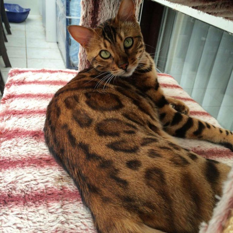 Thor the Bengal Cat is Fierce and Absolutely Stunning