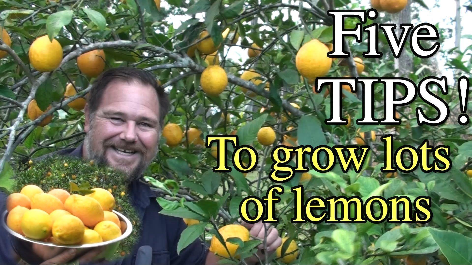 5 Tips How to Grow a Ton of Lemons on One Tree YouTube
