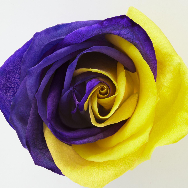 Yellow & Purple Rose | Rainbow flowers, Beautiful roses