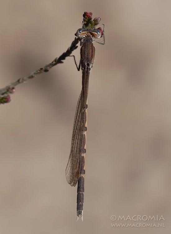 Winter Damselfly (Sympecma fusca). Dragonfly - Odonata photography by www.Macromia.nl