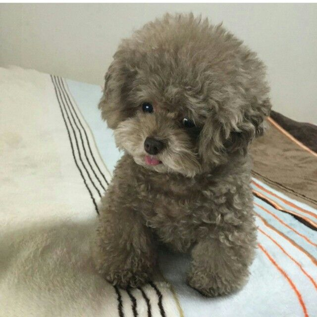 Poodle Grooming Poodle Puppy Puppies Fluffy Dogs