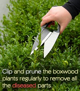 Must Share How To Plant And Take Care Of Japanese Boxwood Boxwood Plant Boxwood Landscaping Box Wood Shrub