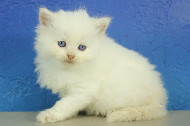 Cannon Cream Ragdoll Cat Kitten From Www Ragdollkitten Us With