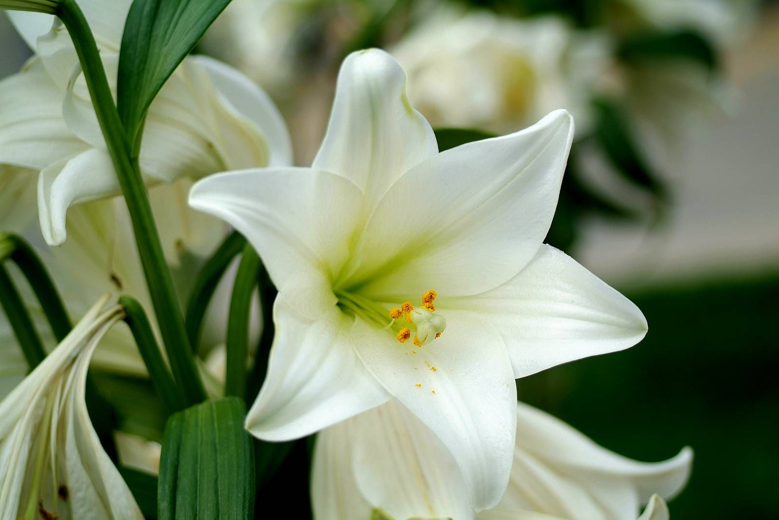 11 different types of lilies that make you love lilies flowers 11 different types of lilies that make you love rose gardening izmirmasajfo Choice Image
