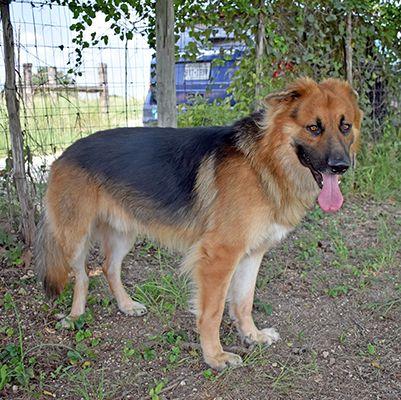 Adopt Bear On Dog Search Dogs Shepherd Dog