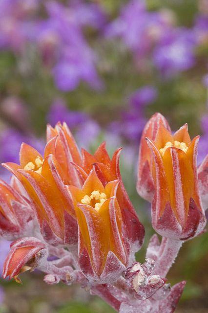 Succulent (Dudleya caespitosa)