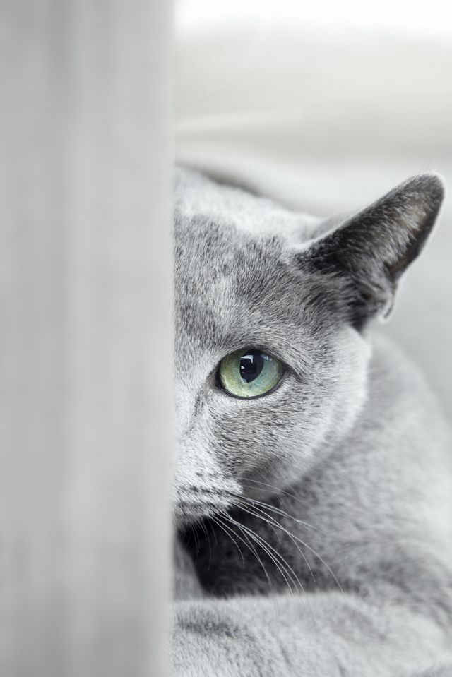 Russian Blue Cats Allergies Cuteness Russian Blue Kitten Russian Blue Cat Russian Blue