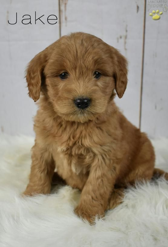 Jake Mini Goldendoodle Puppy for Sale in Fresno, OH