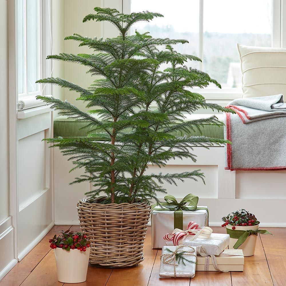 Shop Our Complete Selection Of Beautiful Easy Care Houseplants Including Our Plant Of The Month Offers As Always Ev Plants Norfolk Pine White Flower Farm