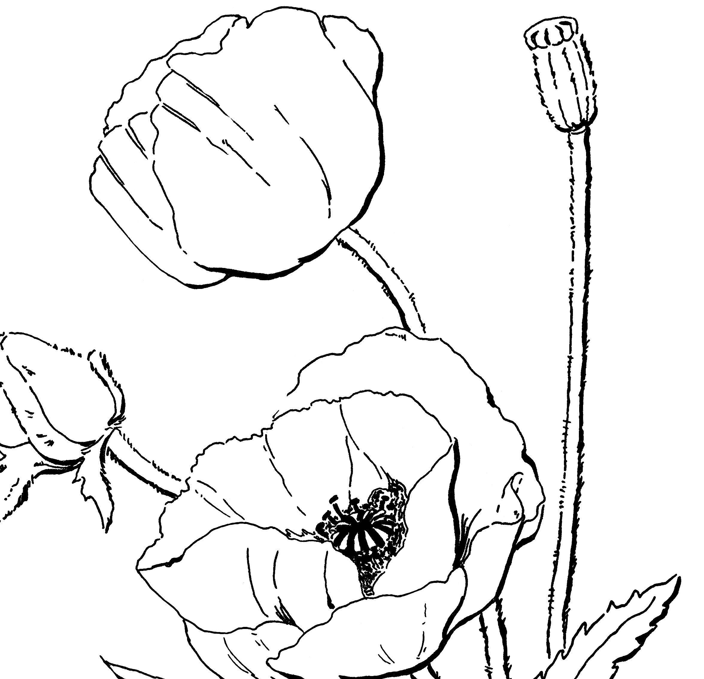 poppy coloring page for adults vintage coloring bookspoppy flowersglass - Poppy Flower Coloring Pages