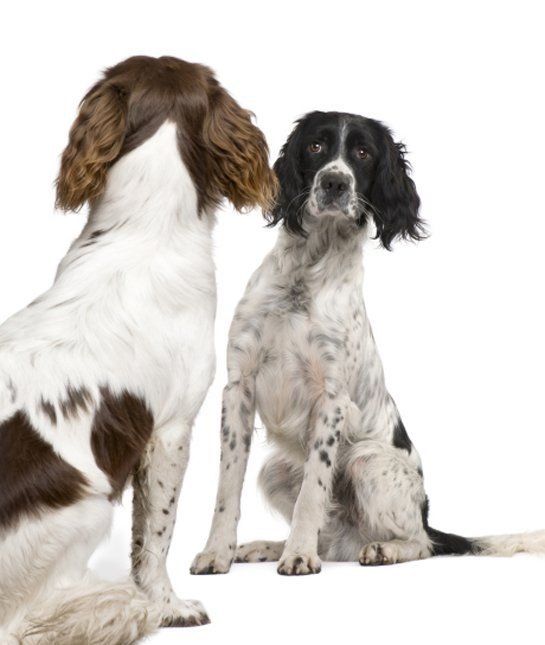 Did You Know That There Was An English Springer Spaniel On The Mayflower Or That Scottish Hero Will Springer Spaniel English Springer Spaniel English Springer