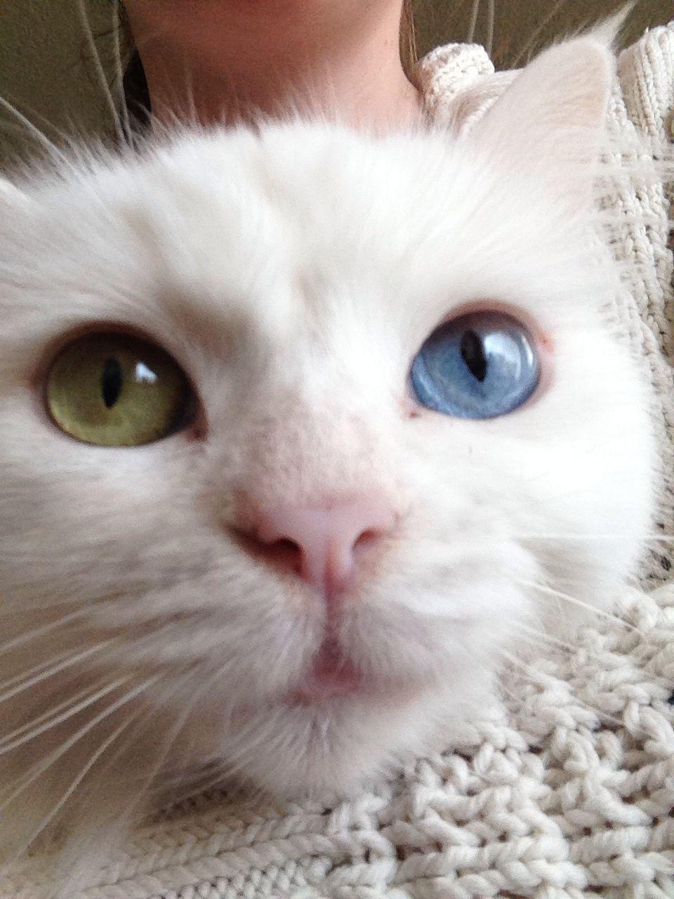 6d44f5e3d8de59 Odd eyed Turkish angora