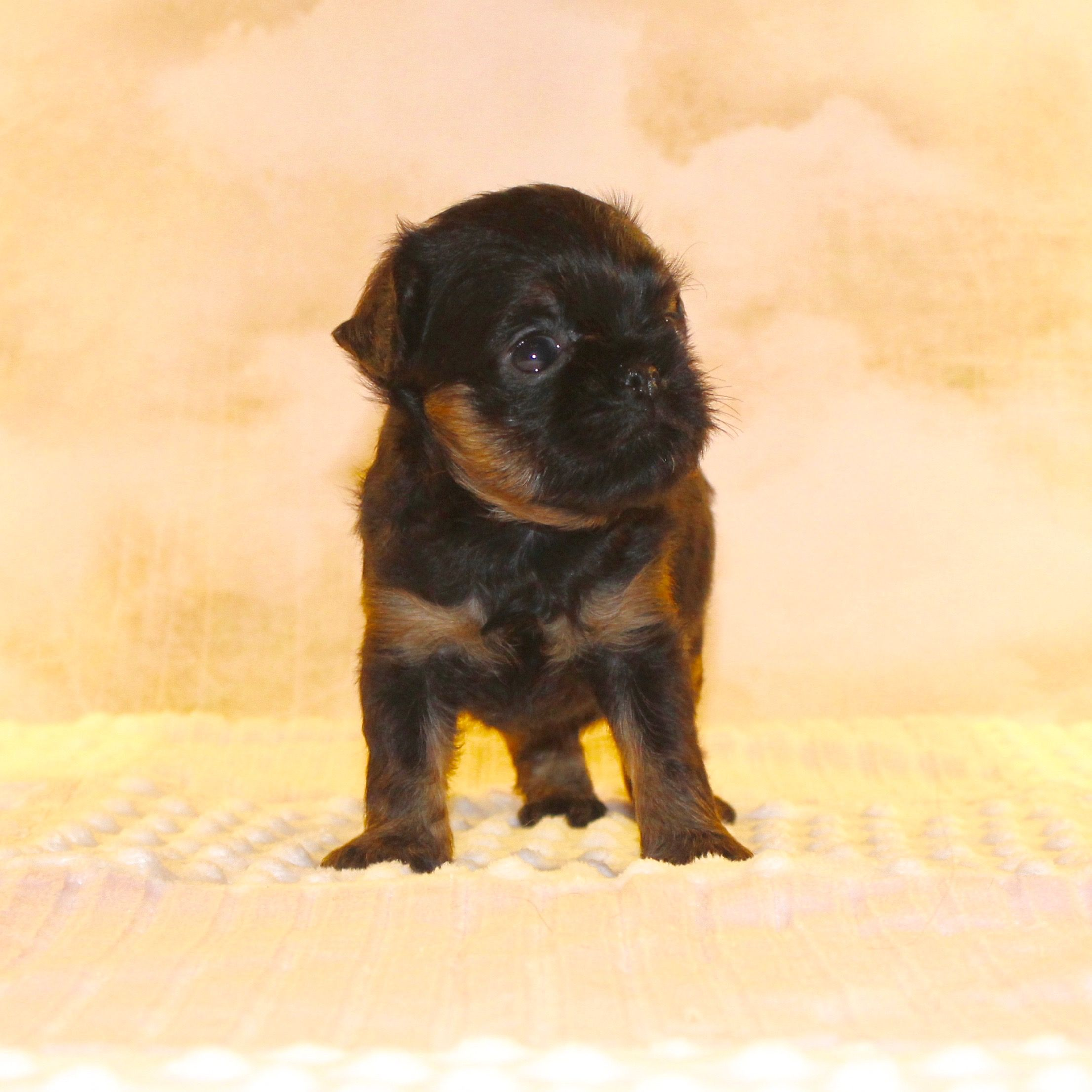 Brussels Griffon Cute puppies, Puppies, Puppies for sale