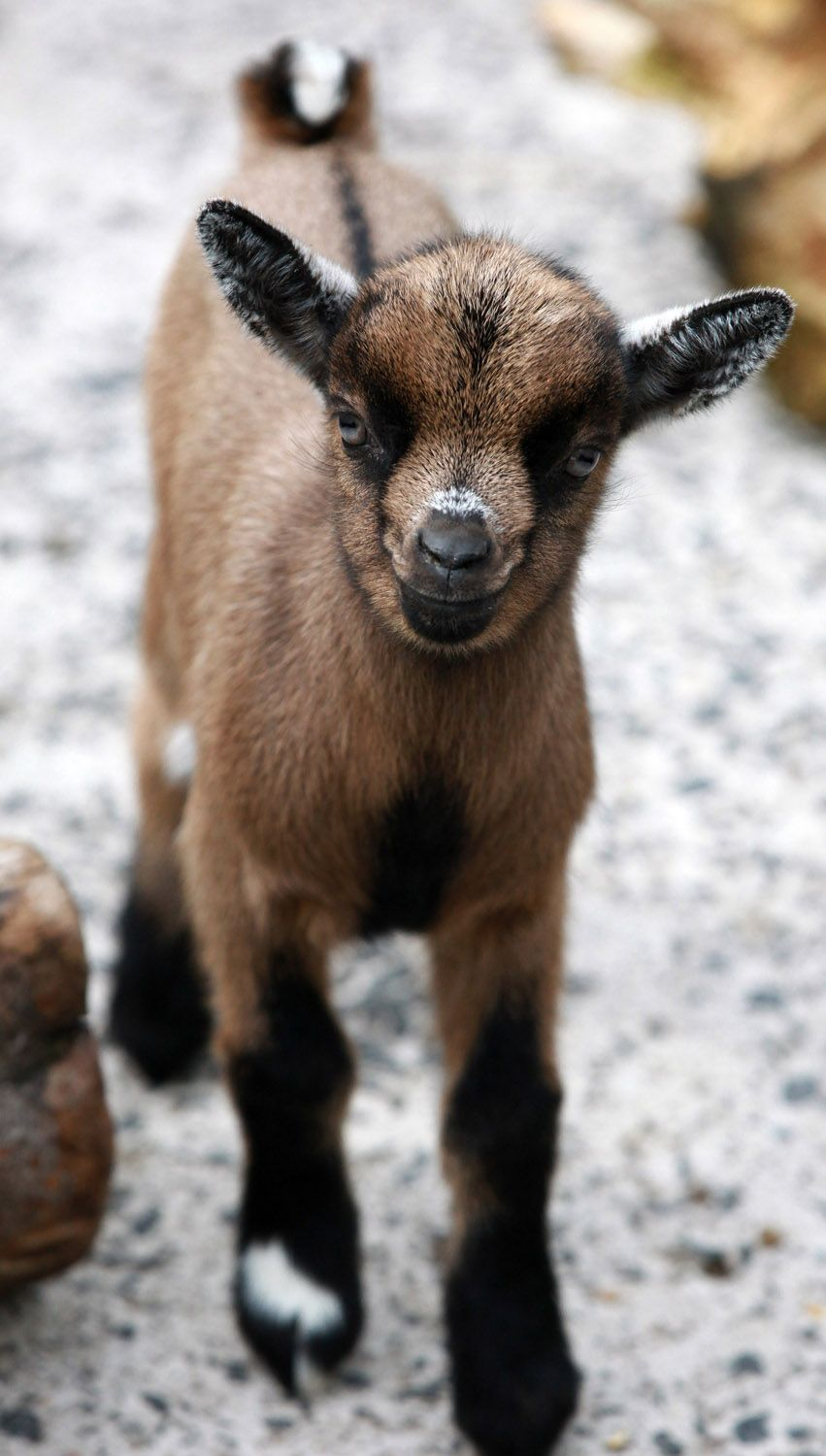 african pygmy goats for sale Google Search Goats