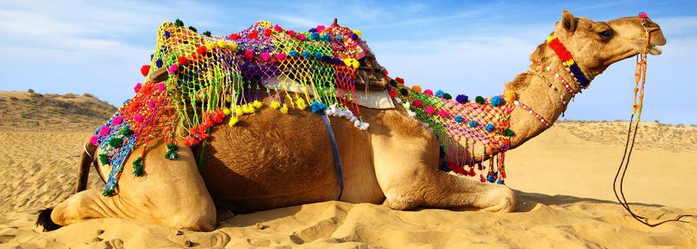 The Camel in Camel Safari, Rajasthan