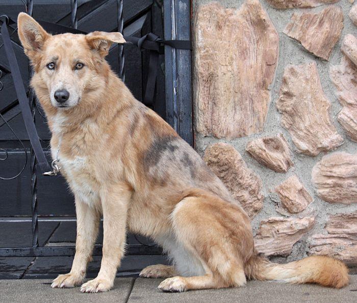 Westside German Shepherd Rescue Of Los Angeles Com Imagens