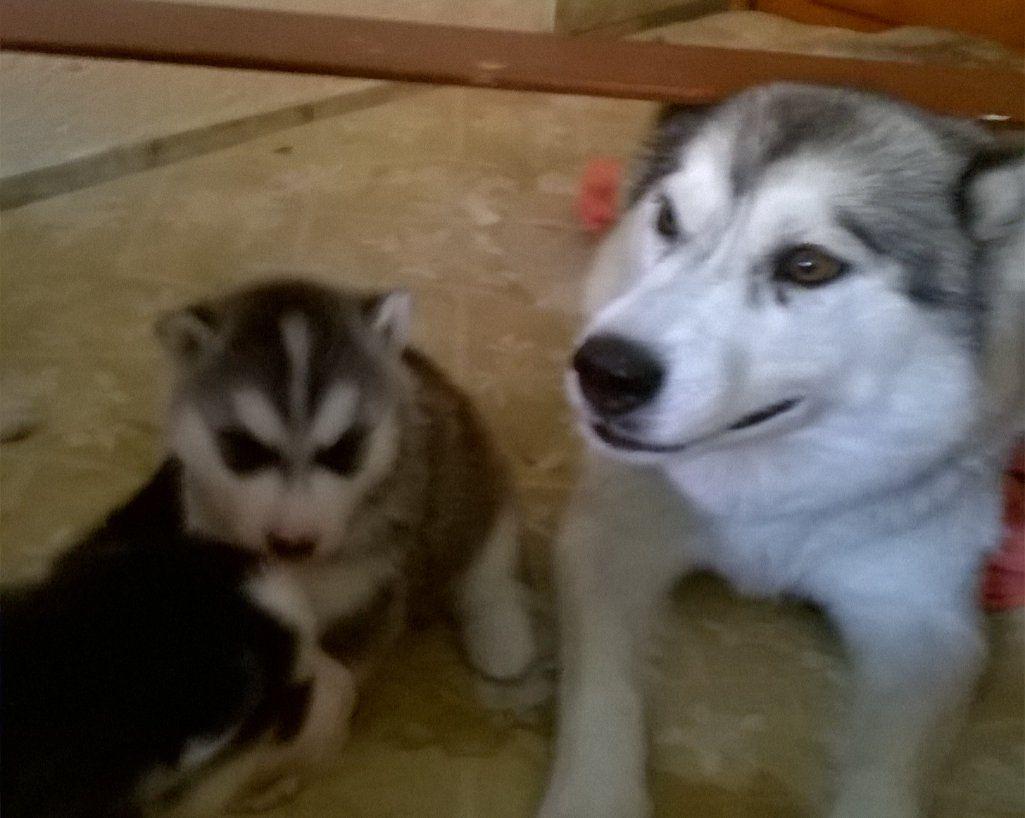 Cuccioli Siberian Husky Annunci Animali Cuccioli Di Husky Cani