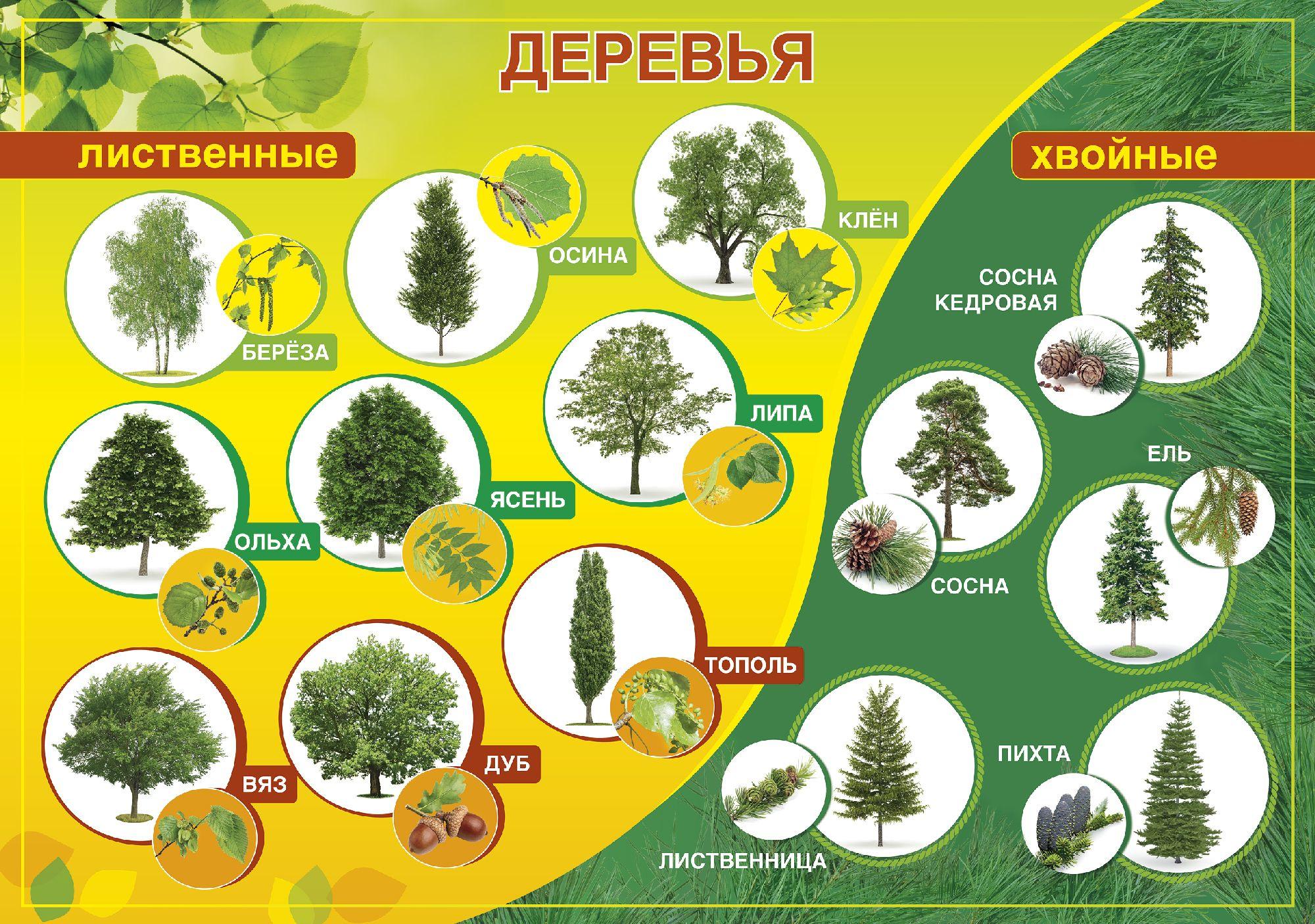 лиственные деревья беларуси фото и названия