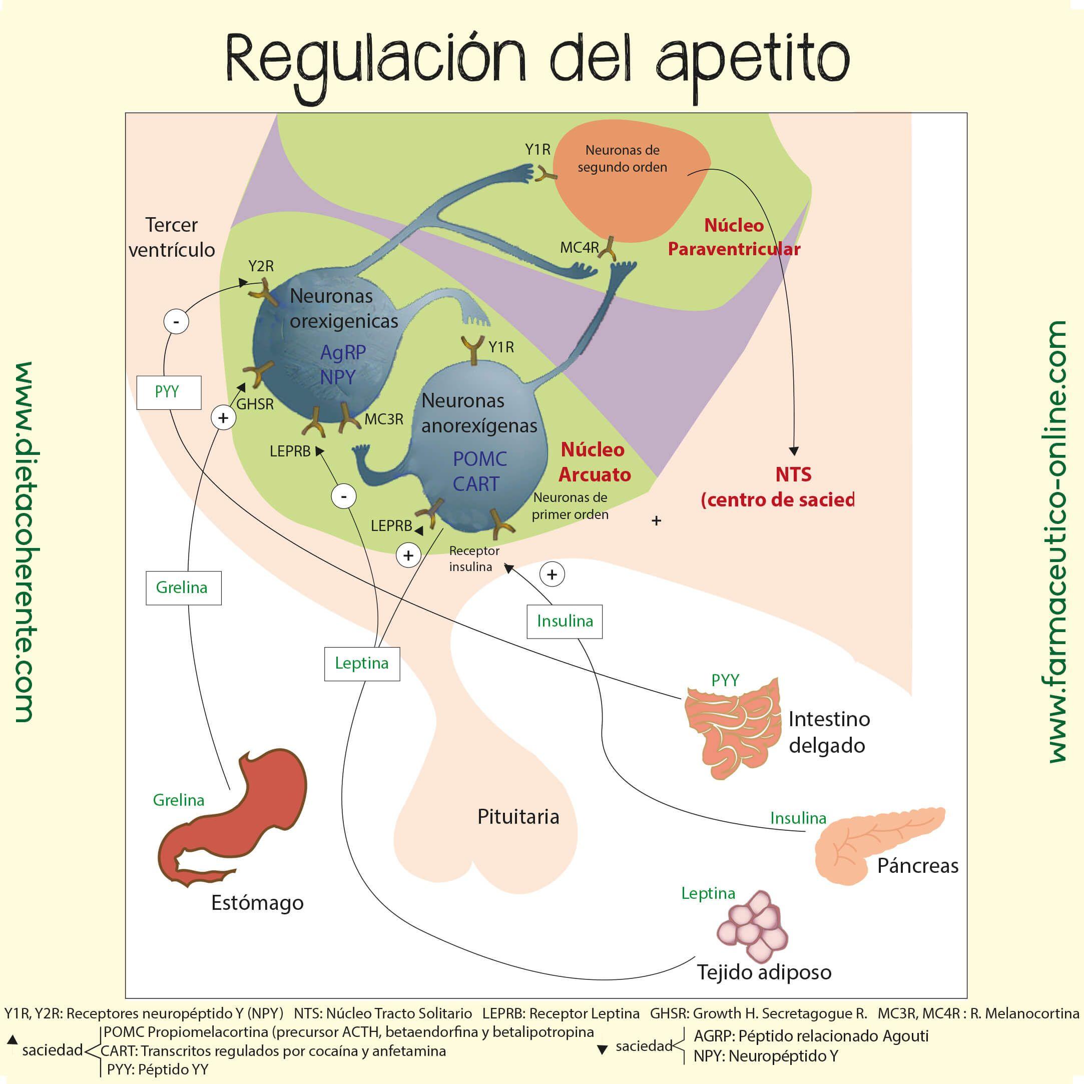 Fisiologia del hambre y apetito