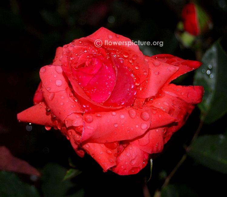 Pussta Rose Rose Beautiful Pink Roses Rose Flower